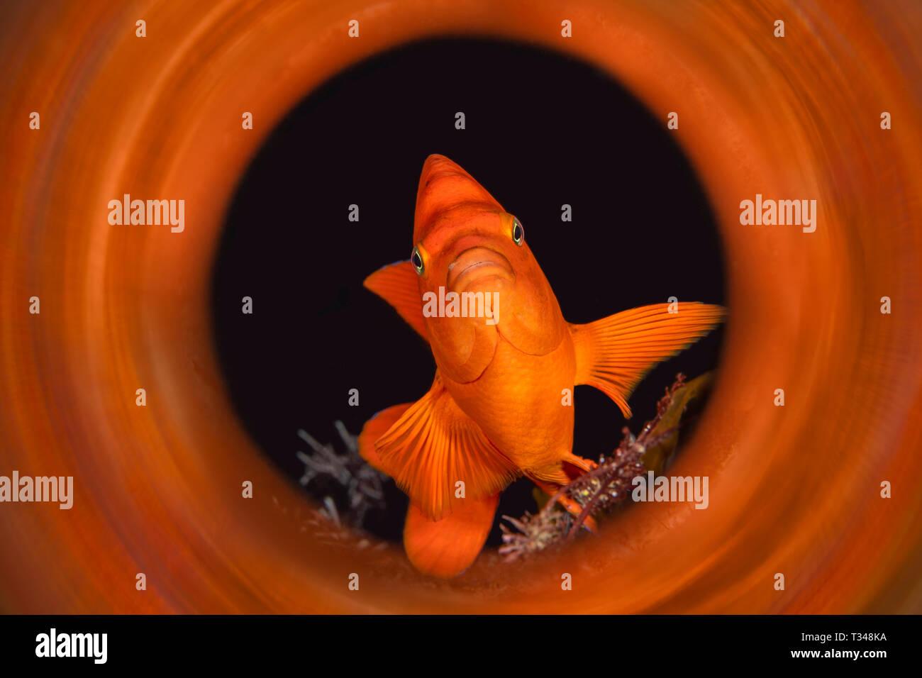 Garibaldi orange brillant tourné en avec un tube magique pour capturer les reflets de la couleur des animaux dès la sortie de l'appareil photo. Banque D'Images