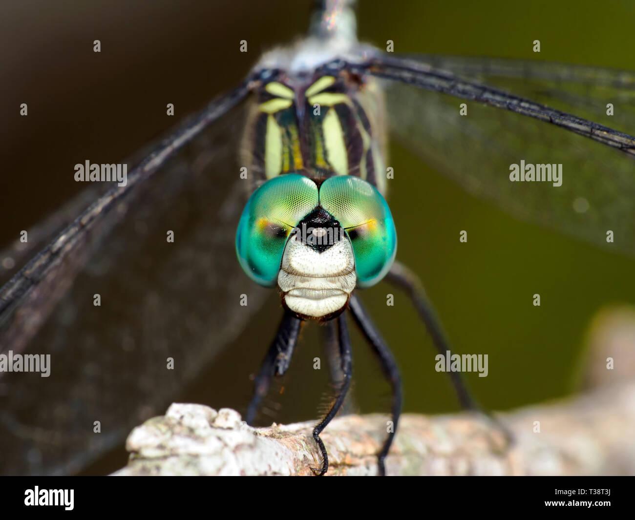 Mâle bleu libellule, Dasher Pachydiplax longipennis, macro. Banque D'Images