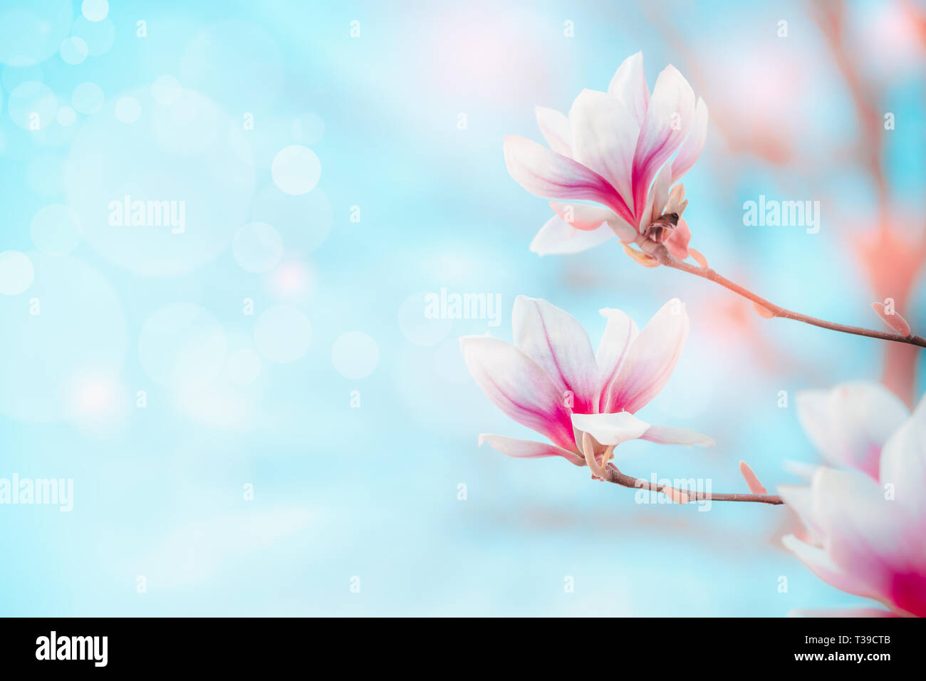 La nature de fond de printemps avec de jolies fleurs de magnolia au ciel bleu avec effet bokeh. Concept de plein air au printemps. Magnolia blossom Banque D'Images