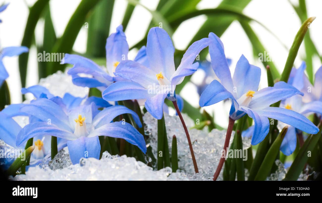 Fleur bleu Chionodoxa ( également connu sous le nom de ...