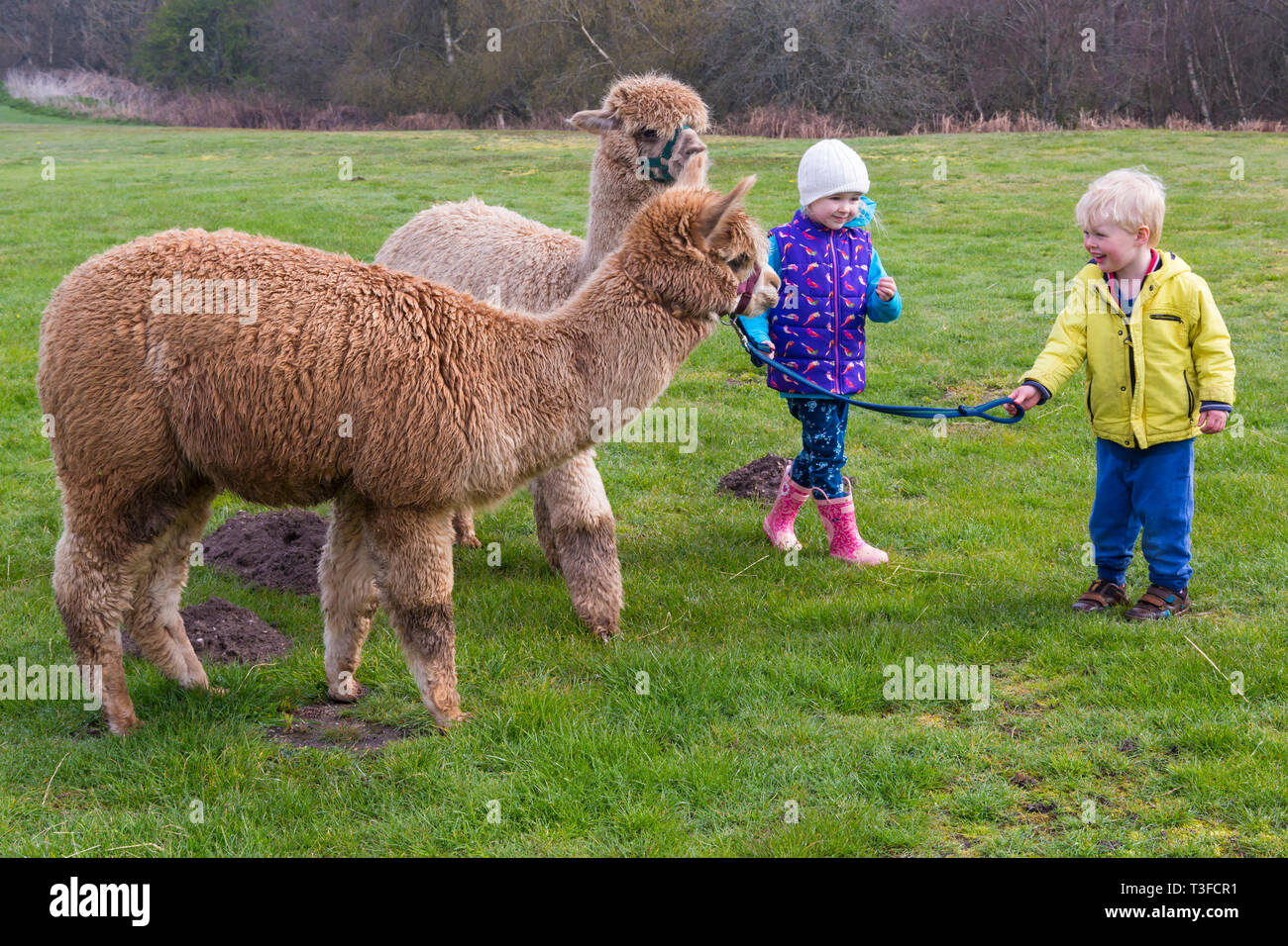 Wareham, Dorset, UK. 9Th avr 2019. Promenades à Longthorns Alpaca Farm à Wareham. Elliot et Ethan marche Harry (le gingembre) et William (autorisation reçue). Credit : Carolyn Jenkins/Alamy Live News Photo Stock