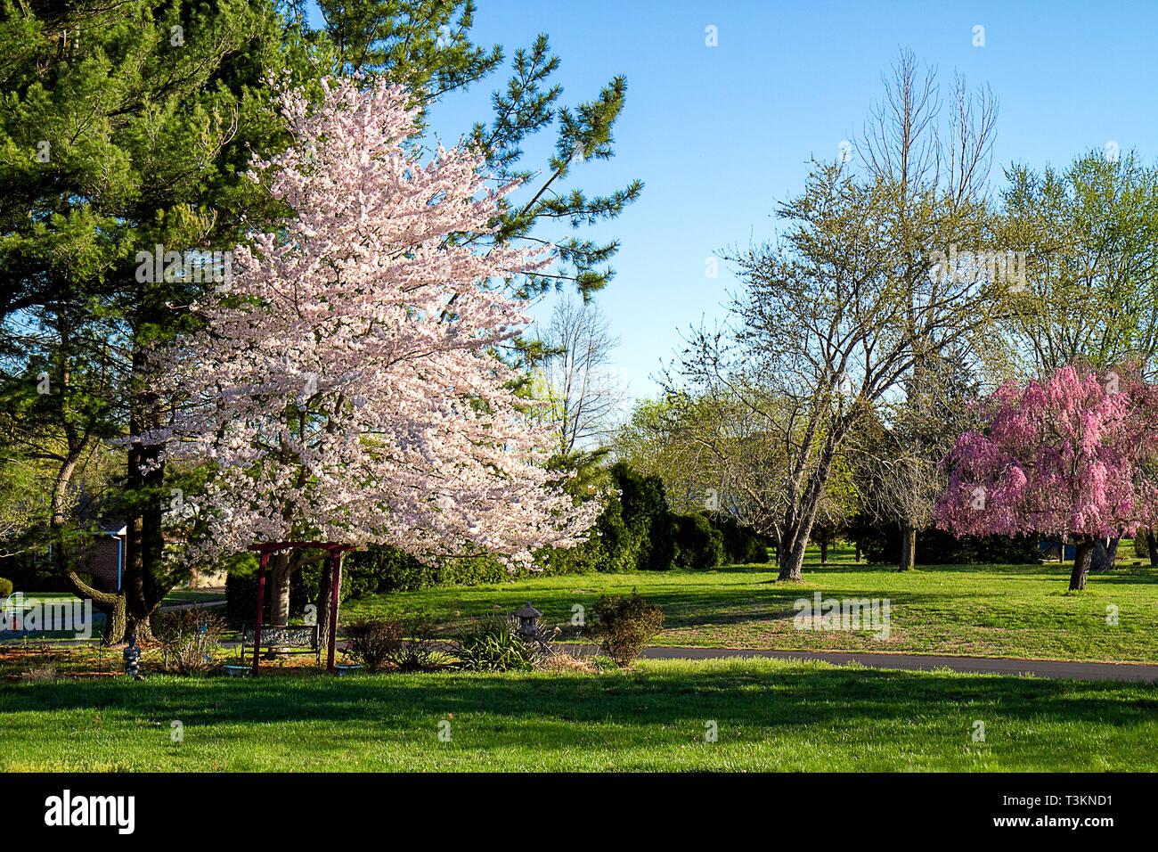 Cherry Blossom Tree en pleine floraison au printemps. Image Paysage Photo Stock