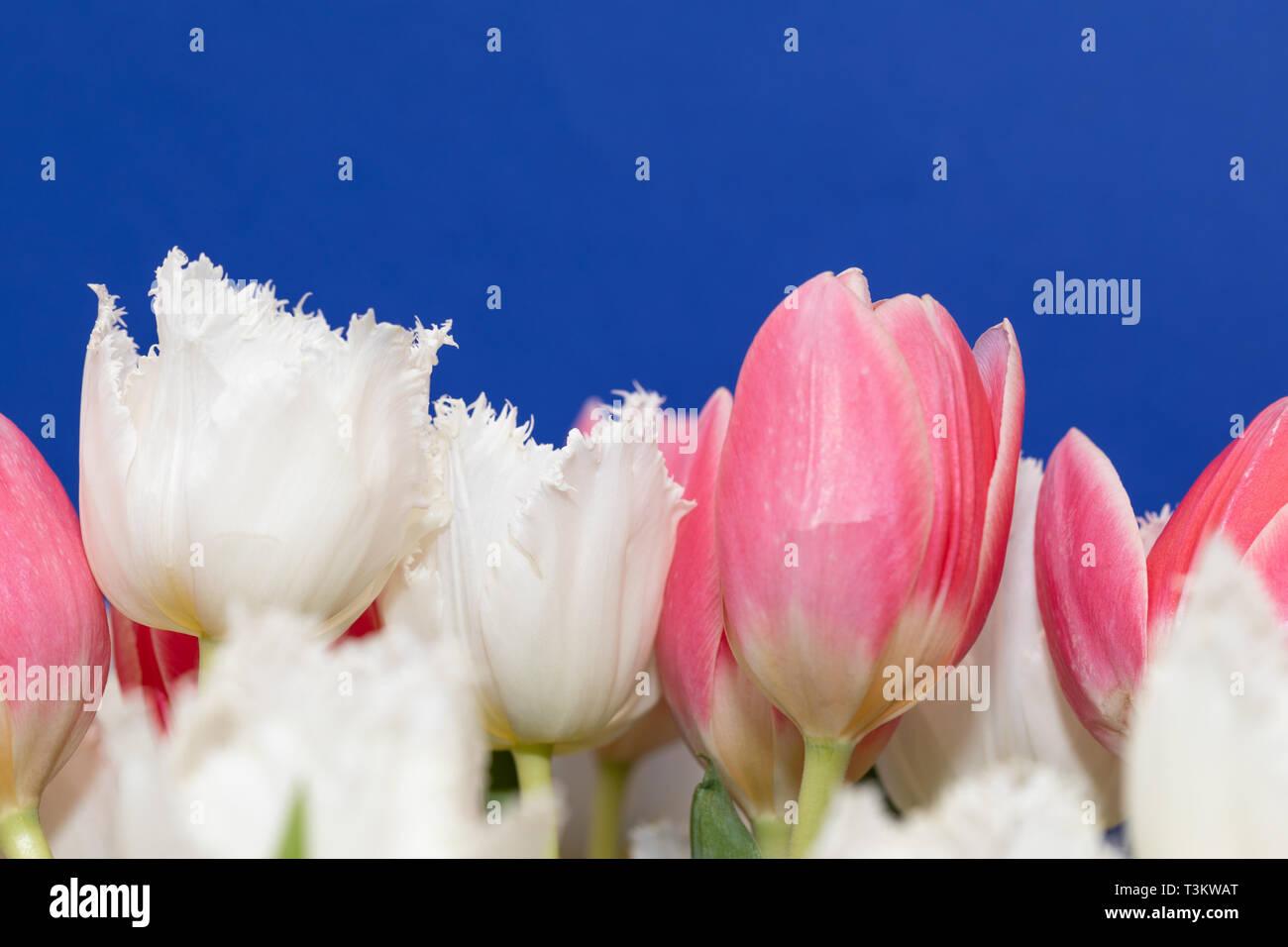 Tulipes roses et blancs, isolé sur fond bleu. Amazing fleurs de printemps Banque D'Images