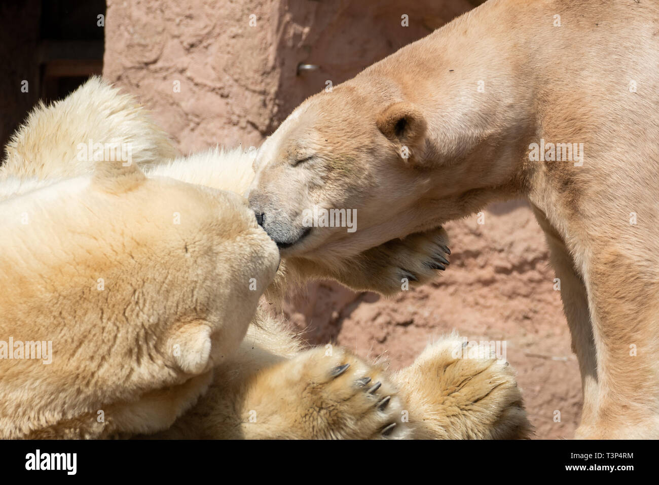 Nürnberg, Allemagne. 11 avril, 2019. L'ours polaire mâle : Nanuq (l) et l'ours polaire femelle Vera résident dans leur enceinte dans le zoo. Arrivés à l'Nanuq Tiergarten le 8 avril 2019. Avant cela, il a vécu pendant neuf ans au Zoo d'Hanovre. Photo : Daniel Karmann/dpa dpa : Crédit photo alliance/Alamy Live News Photo Stock