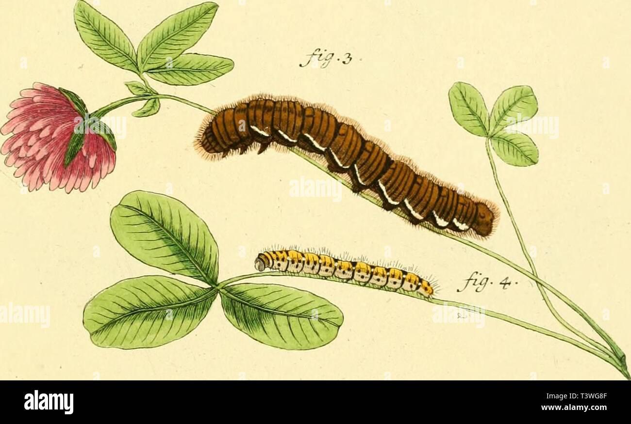 Image d'archive à partir de la page 38 de Die Schmetterlinge in Abbildungen nach. Die Schmetterlinge in Abbildungen nach der Natur dieschmetterling43espe Année: 1829 fui. 3 Ãf-ff: Jys- ichitc Pkai evix: op'¶mtyc: BÃ. e-forum. al. rev.Trfbld.Ã&: z. nuzs.fig..F°em,.Ãg.â 3 Zarva <u.adzUta Ãf. 4 . Larve aef. üCvent/z. af. S . Nymphe -Ãc. Ckrufai, et s.. Photo Stock