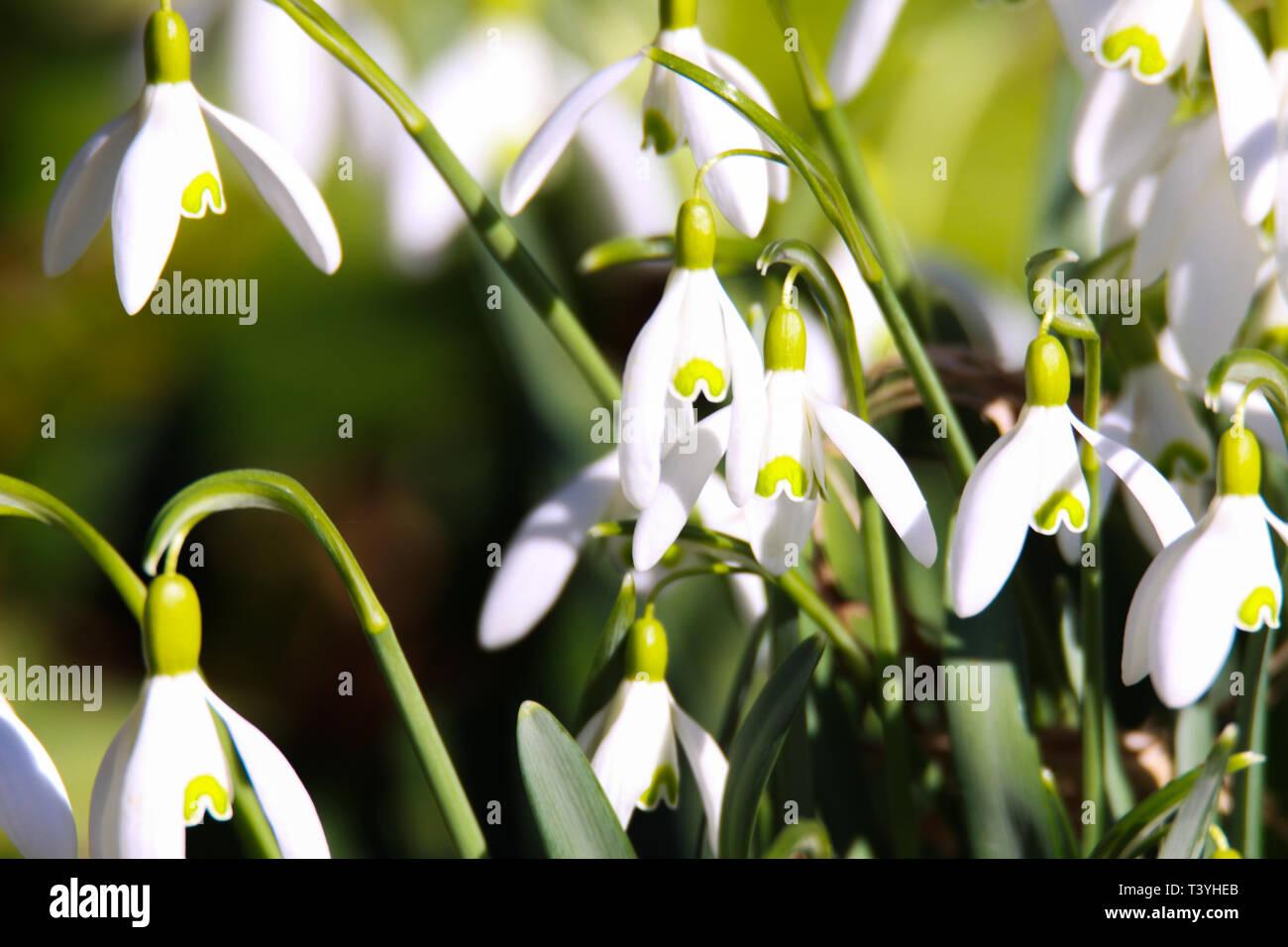 Floraison blanche perce-neige (Galanthus nivalis) annoncer le printemps Banque D'Images