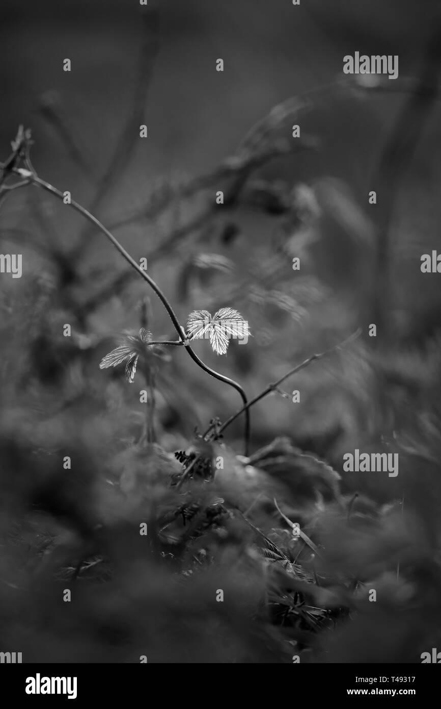 Arrière-plan de prairie. Shallow DOF. Fin de la journée. Converti en noir et blanc. Banque D'Images
