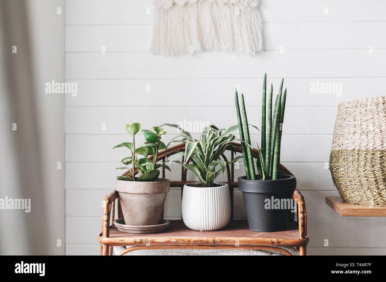 Les plantes vertes en pots élégants en bois sur fond de stand vintage sur mur rustique blanc avec broderie pendaison. Peperomia, sansevieria, plan dracaena Banque D'Images