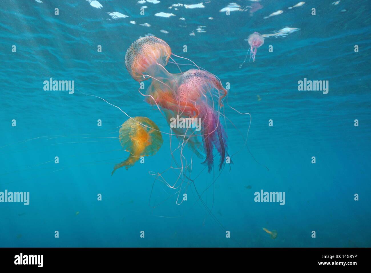 Plusieurs méduses sous l'eau à la mer Méditerranée, mauves Pelagia noctiluca stinger, Espagne Banque D'Images