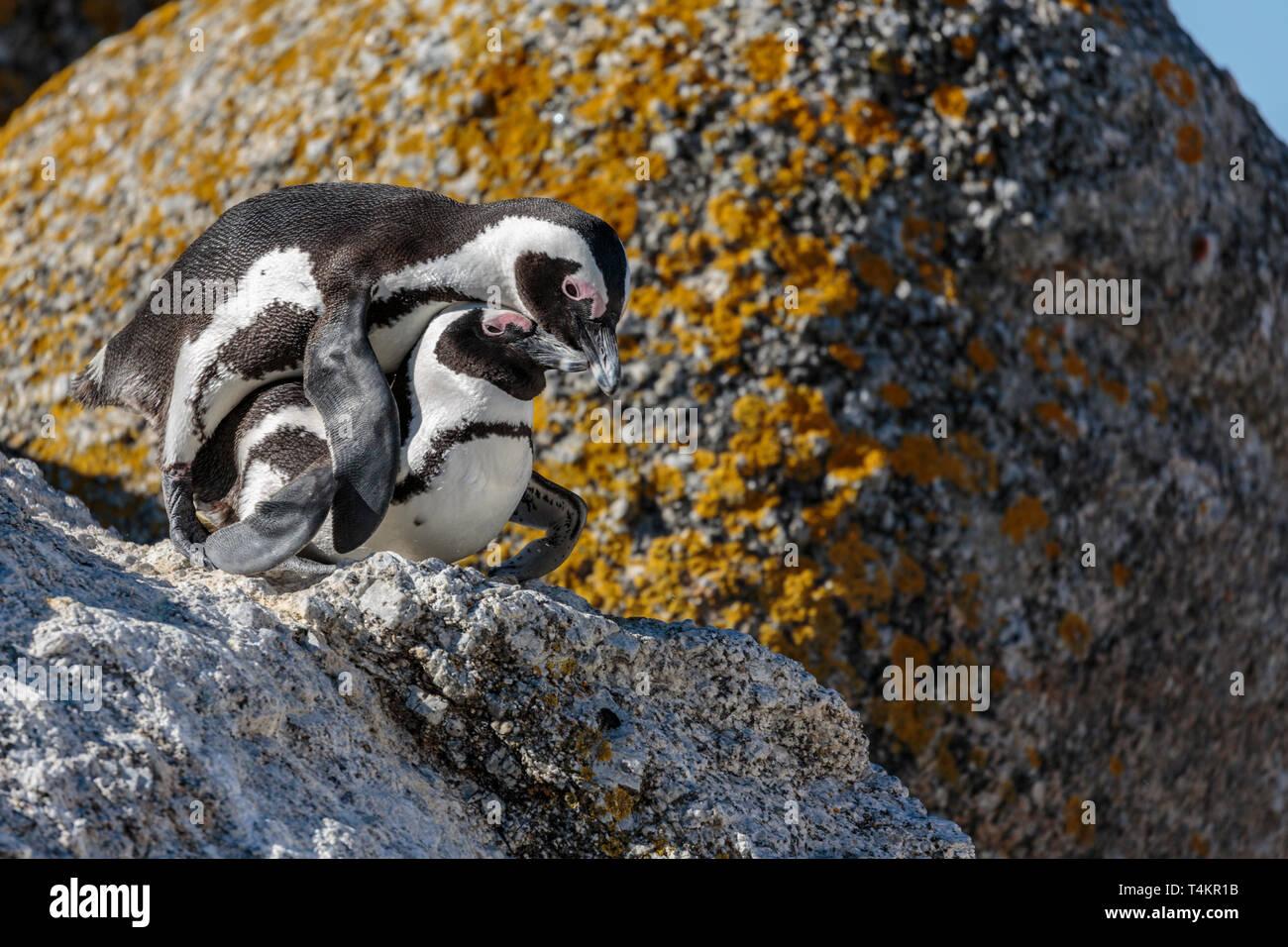 Deux pingouins africains, Spheniscus demersus, sur un rocher, l'accouplement à Simonstown, Afrique du Sud Photo Stock