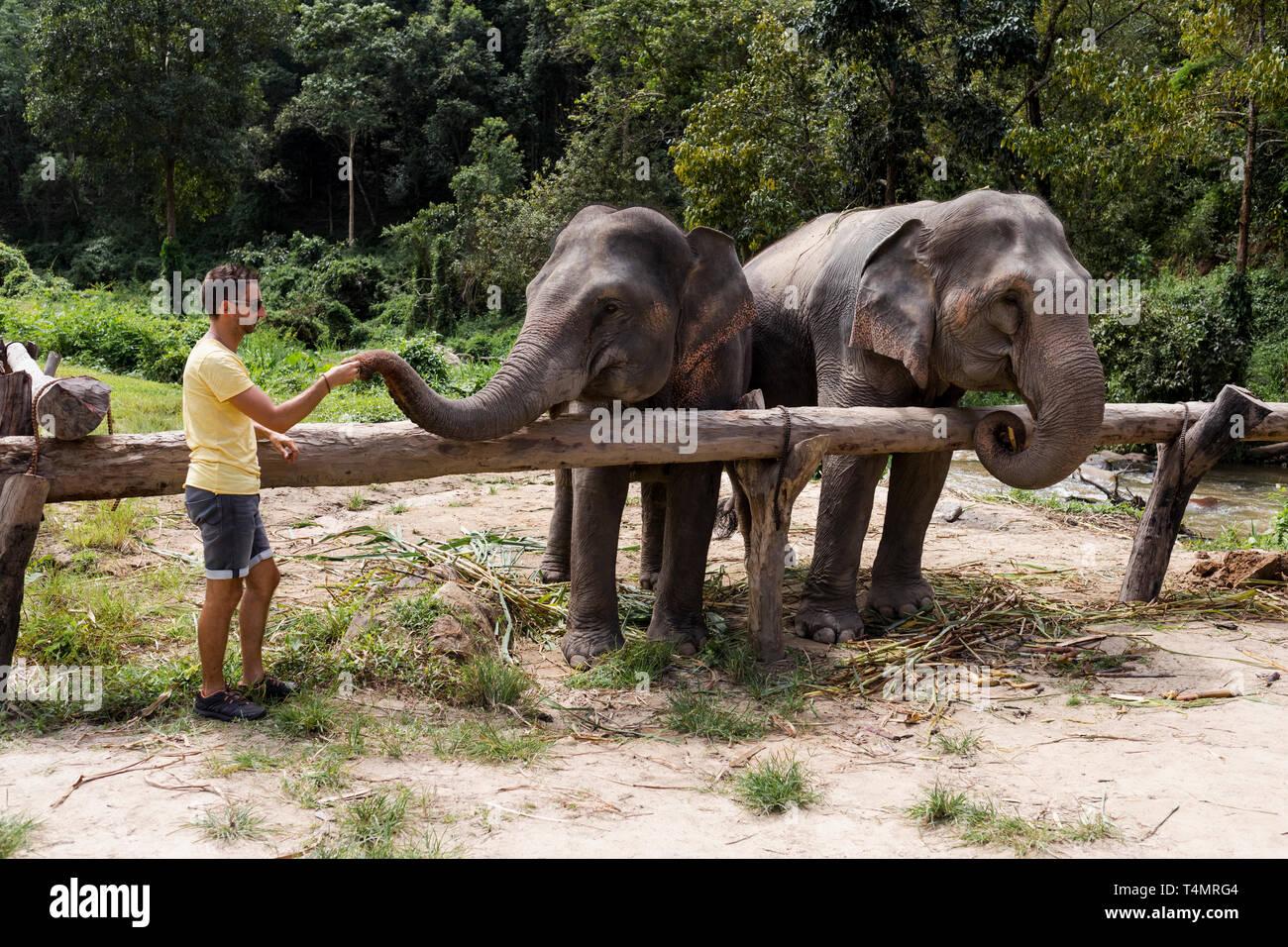 L'alimentation de l'homme éléphant dans un sanctuaire d'éléphants. Chiang Mai, Thaïlande. Photo Stock