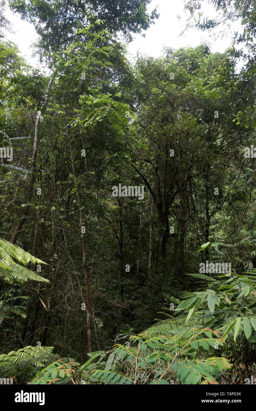 Réserve forestière de Sinharaja. Le Sri Lanka. Banque D'Images