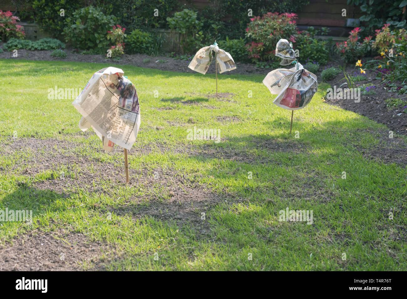 Scarers oiseaux faits de journal sur réparé et jardin pelouse nouvellement semées - UK Photo Stock