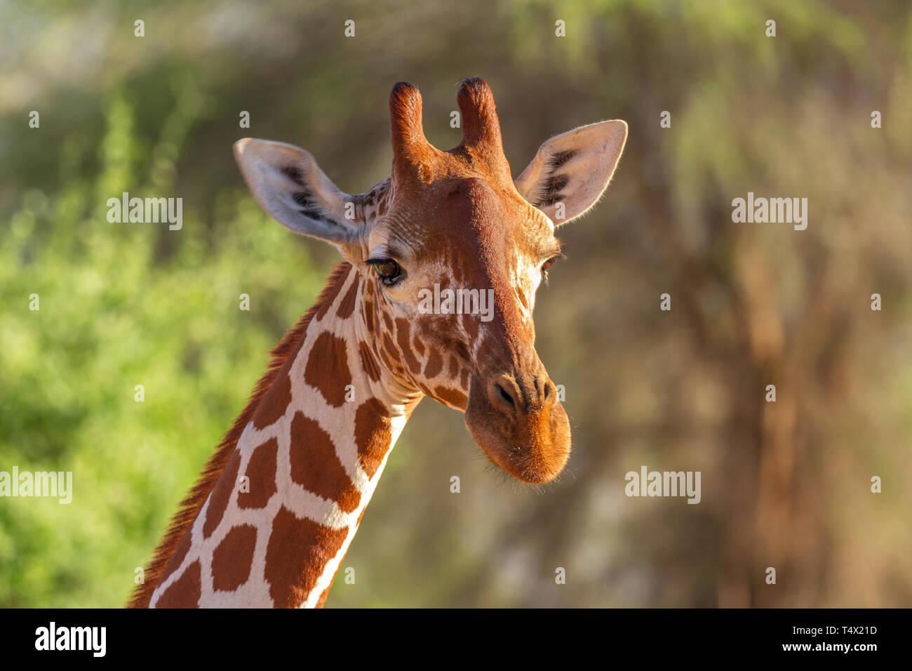 Les Girafes Giraffa camelopardalis reticulata réticulée de la réserve nationale de Samburu, Kenya Afrique de l'Est Banque D'Images