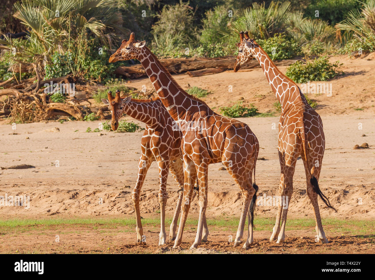 Giraffe réticulée Giraffa camelopardalis reticulata groupe drôle de danse boogie trois twirl Samburu National Reserve Kenya Afrique de l'est en voie de disparition Banque D'Images