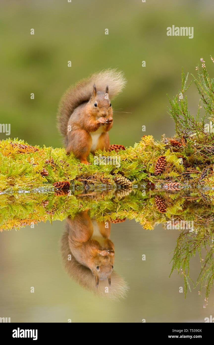 L'écureuil roux (Sciurus vulgaris) Black Isle, Ecosse, Royaume-Uni. Octobre 2015 Banque D'Images