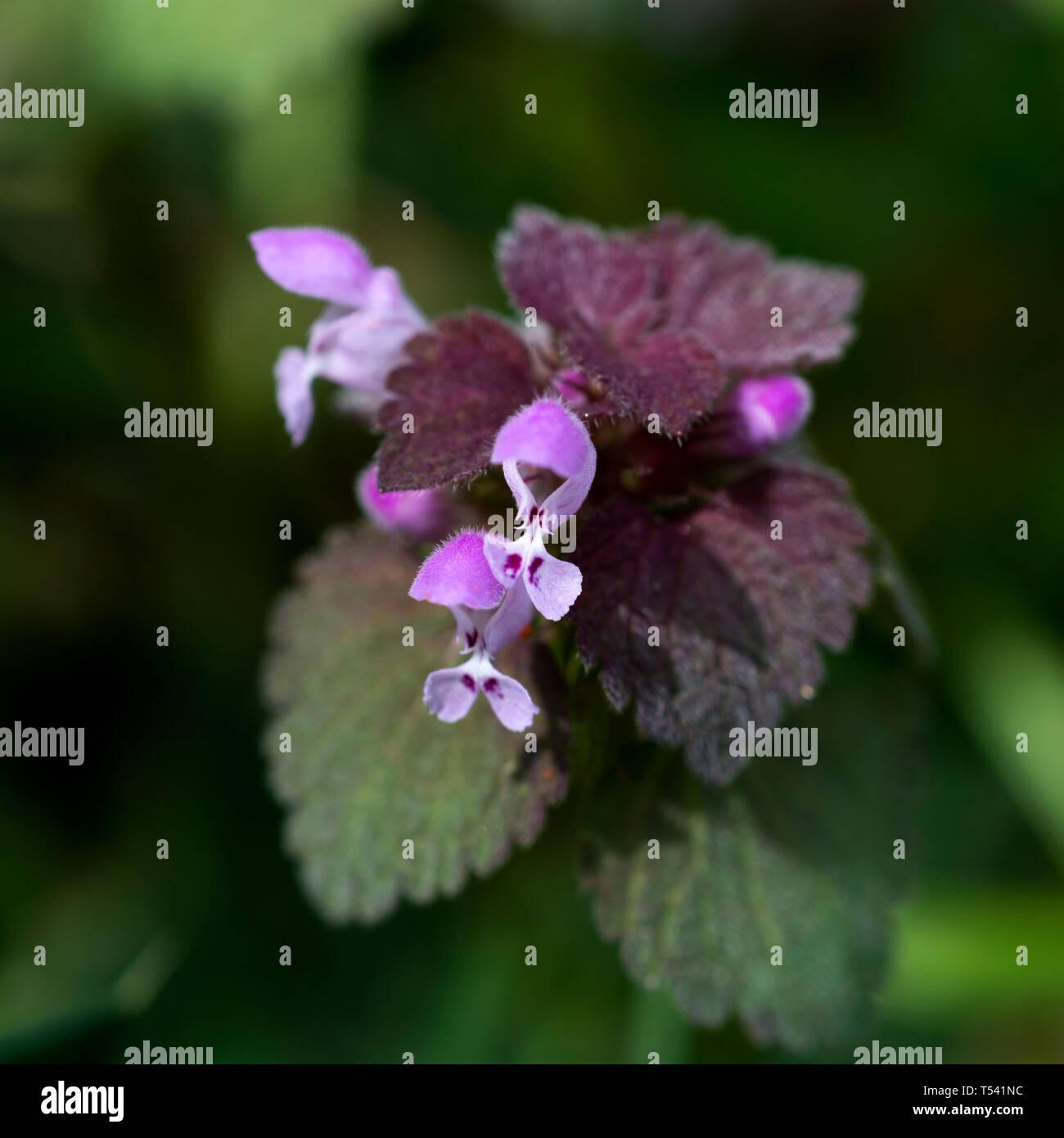 Red Dead-nettle (Lamium purpureum), Warwickshire, UK Banque D'Images