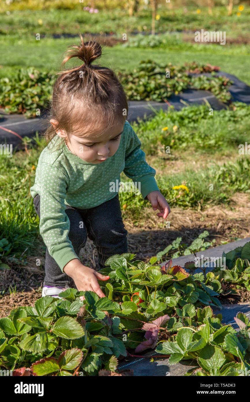 Hood River, Oregon, USA. Toddeler fille profiter de la nouveauté d'une cueillette de fraises fraîches pour manger. (MR) Photo Stock