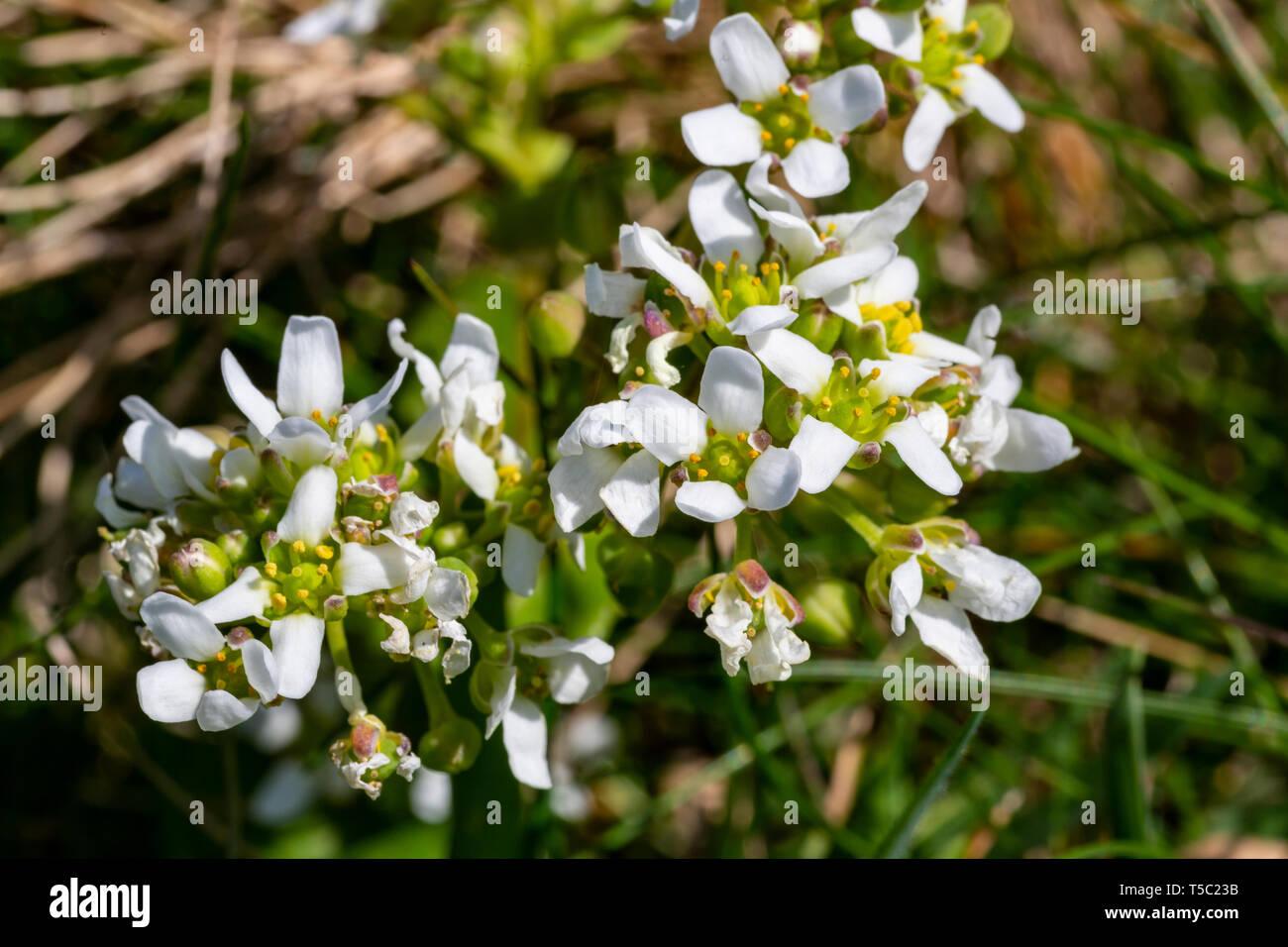 Fleurs sauvages irlandais, anglais, Scurvygrass muirisce Cochlearia anglica, Carrán, Cresson, Valentia Island, comté de Kerry, Irlande Banque D'Images