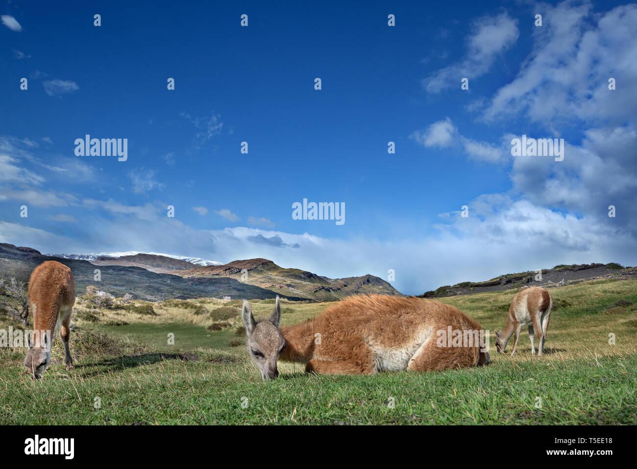 Guanacos (Lama guanicoe), NP Torres del Paine, Chili Banque D'Images