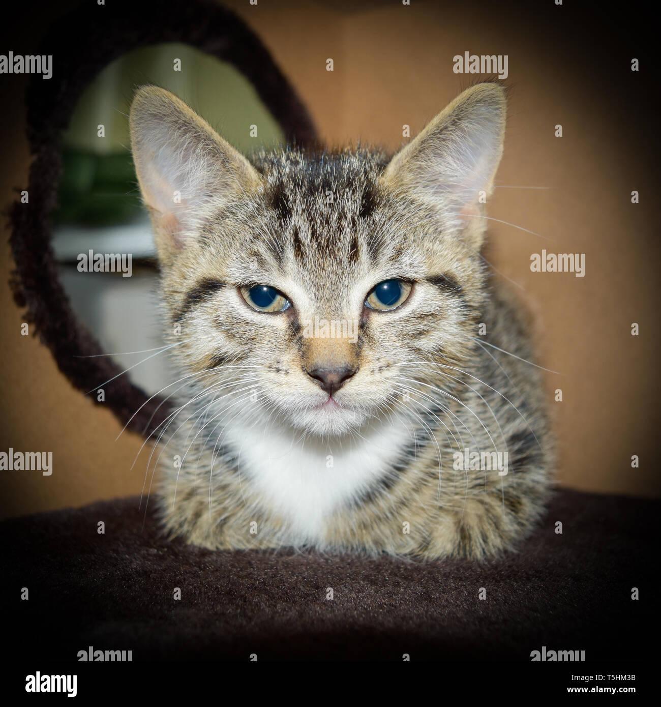 Un mignon 8 semaine tabby et blanc chaton se reposant dans la grotte d'un chat d'intérieur arbre. Banque D'Images