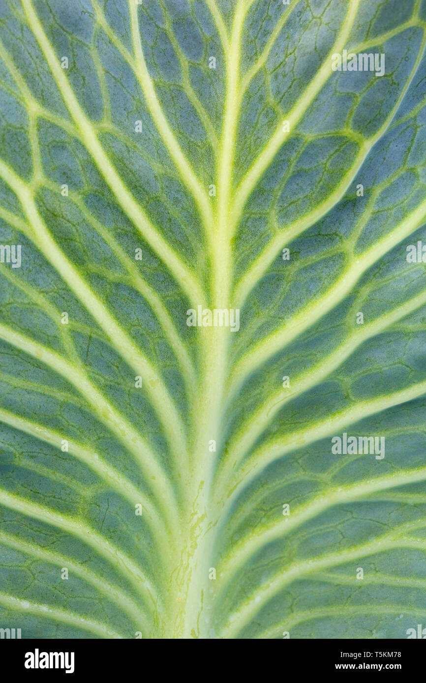Chou blanc / Dutch chou (Brassica oleracea convar. capitata var. alba) close-up de veines dans leaf Photo Stock