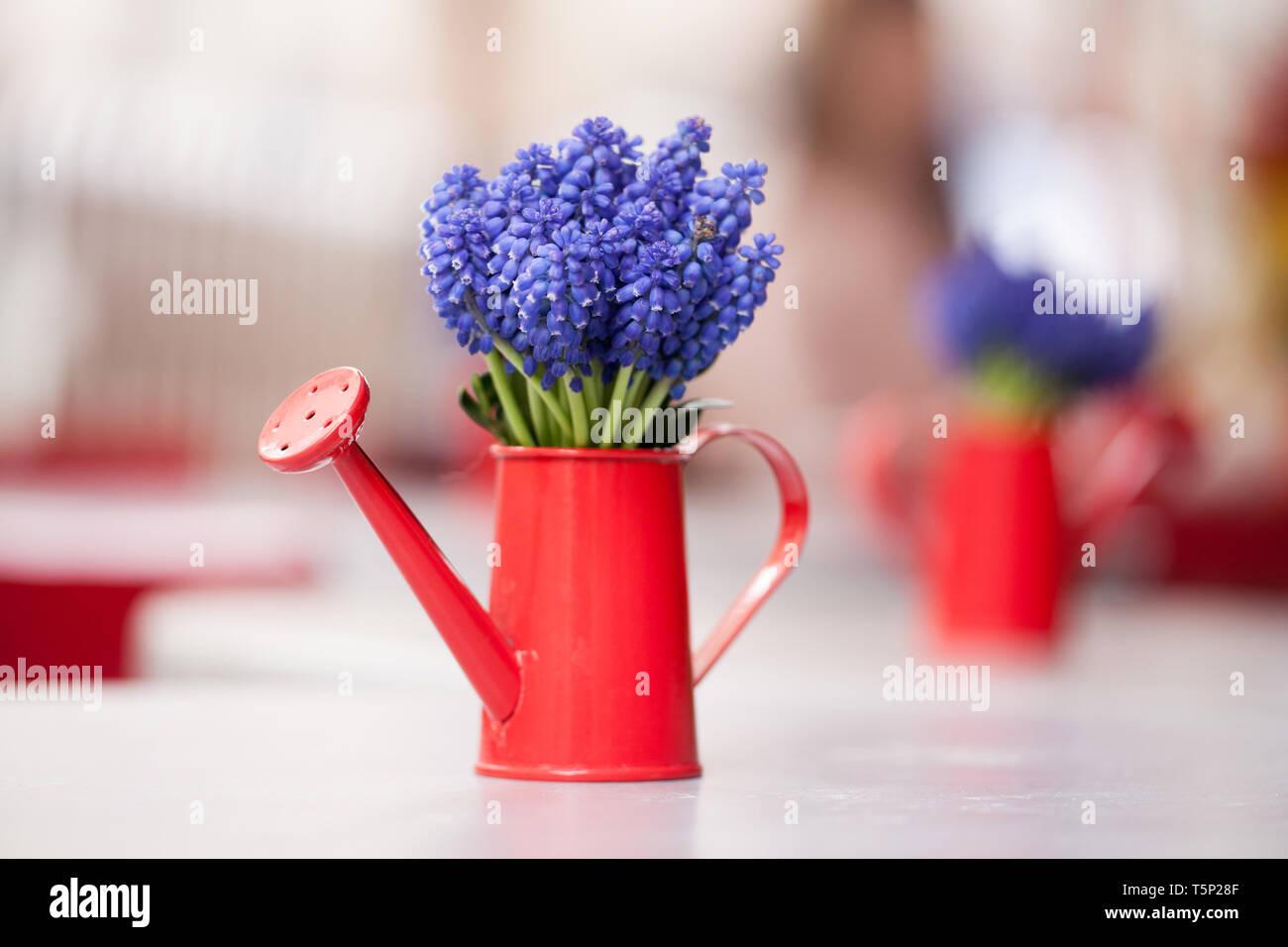 Beau bouquet de muscari ou muscaris dans un petit arrosoir rouge. Gros plan d'une fleur muscari bleu Banque D'Images