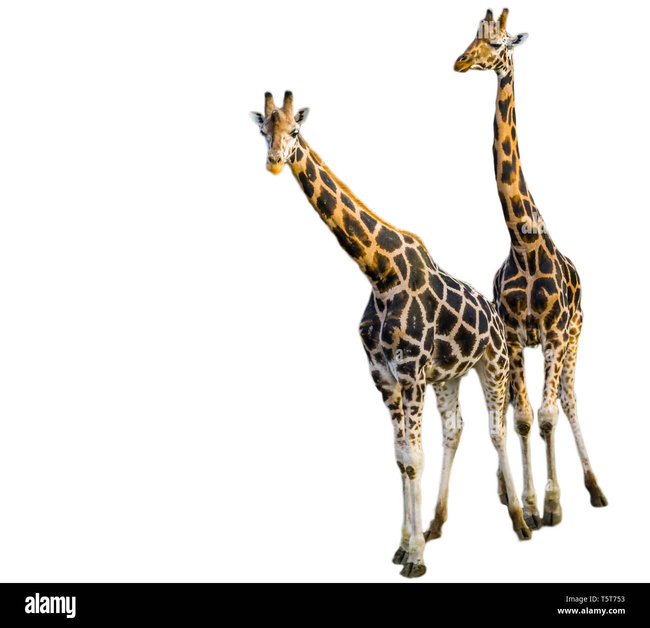 Girafe mâle et femelle ensemble isolé sur un fond blanc, le zoo, les animaux en voie de disparition Espèce animale d'afrique Banque D'Images