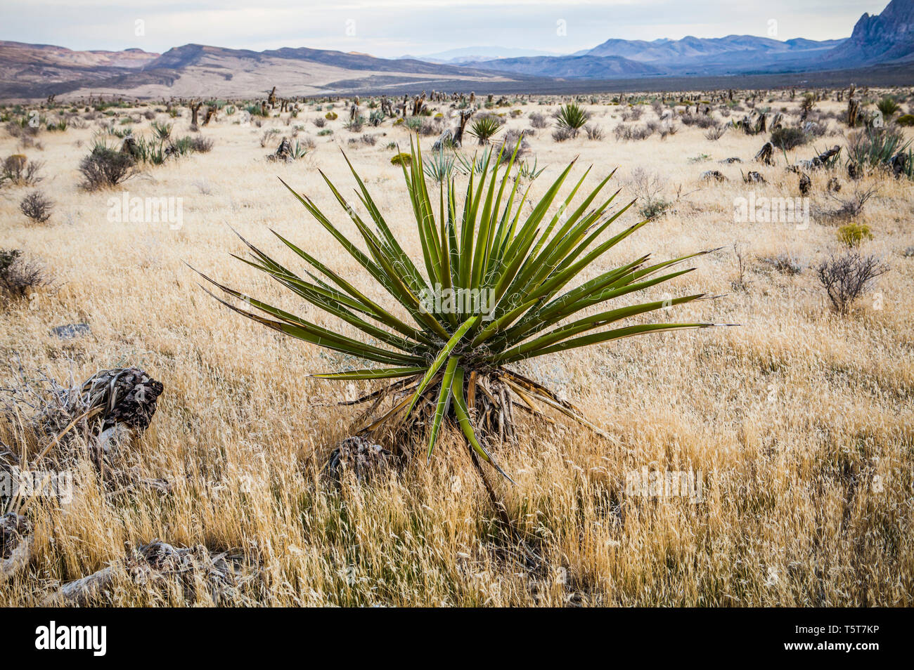 Yucca Mojave, Red Rock Canyon Conservation Area, Nevada, USA Photo Stock