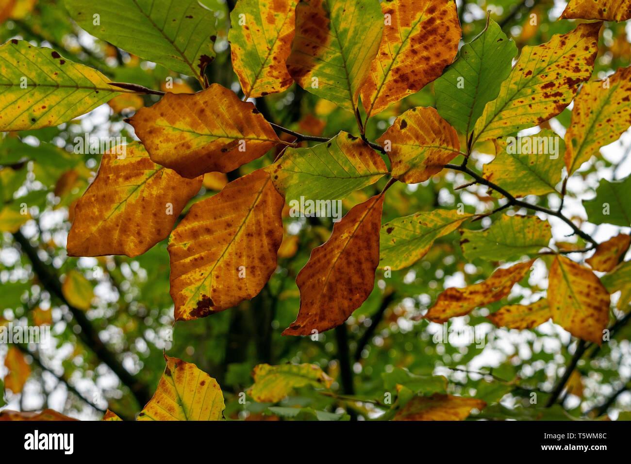 Une vue rapprochée de feuilles de hêtre à l'automne avant qu'ils tombent sur le sol Photo Stock