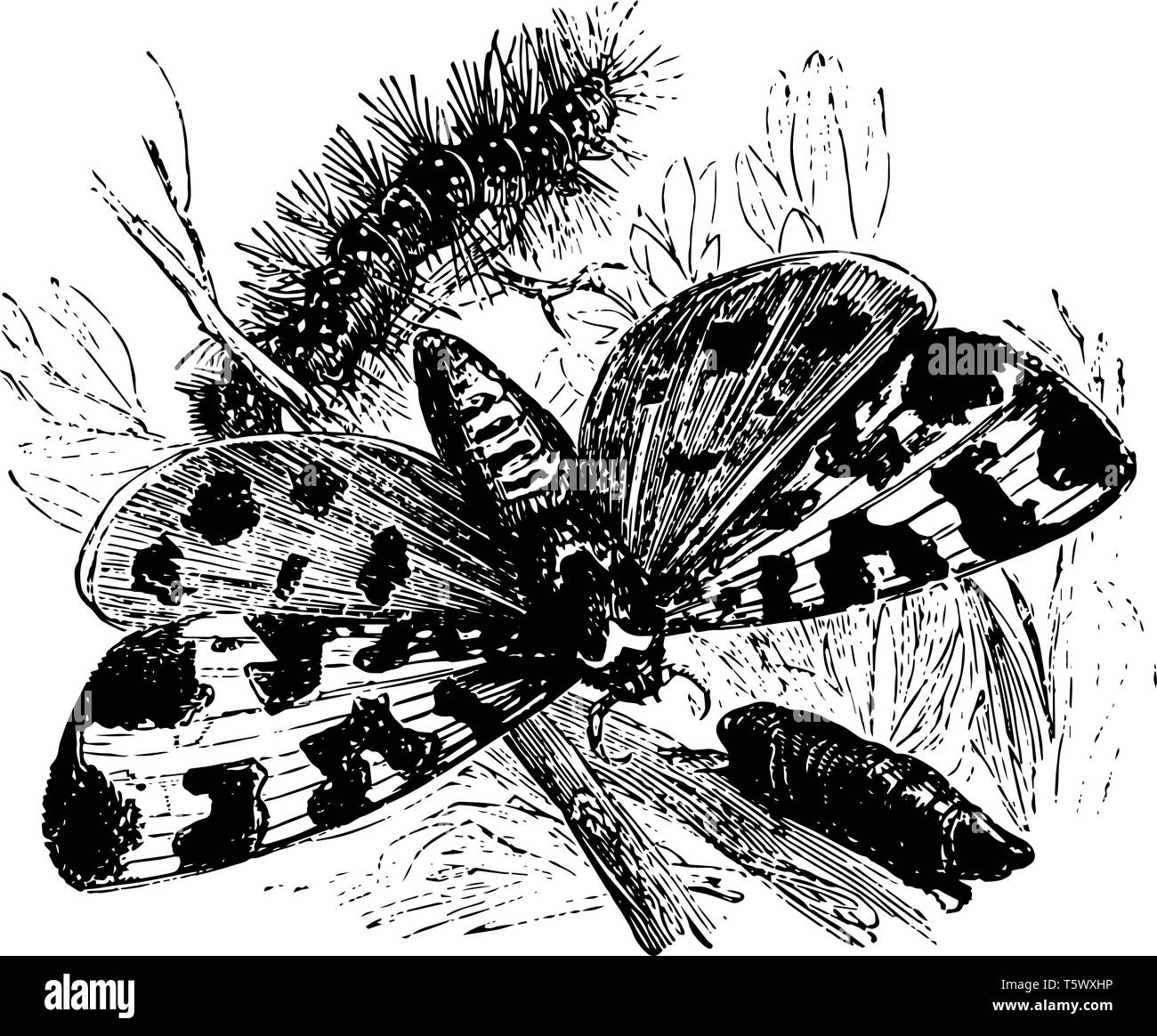 Tiger Wings Drawing Photos Tiger Wings Drawing Images Alamy