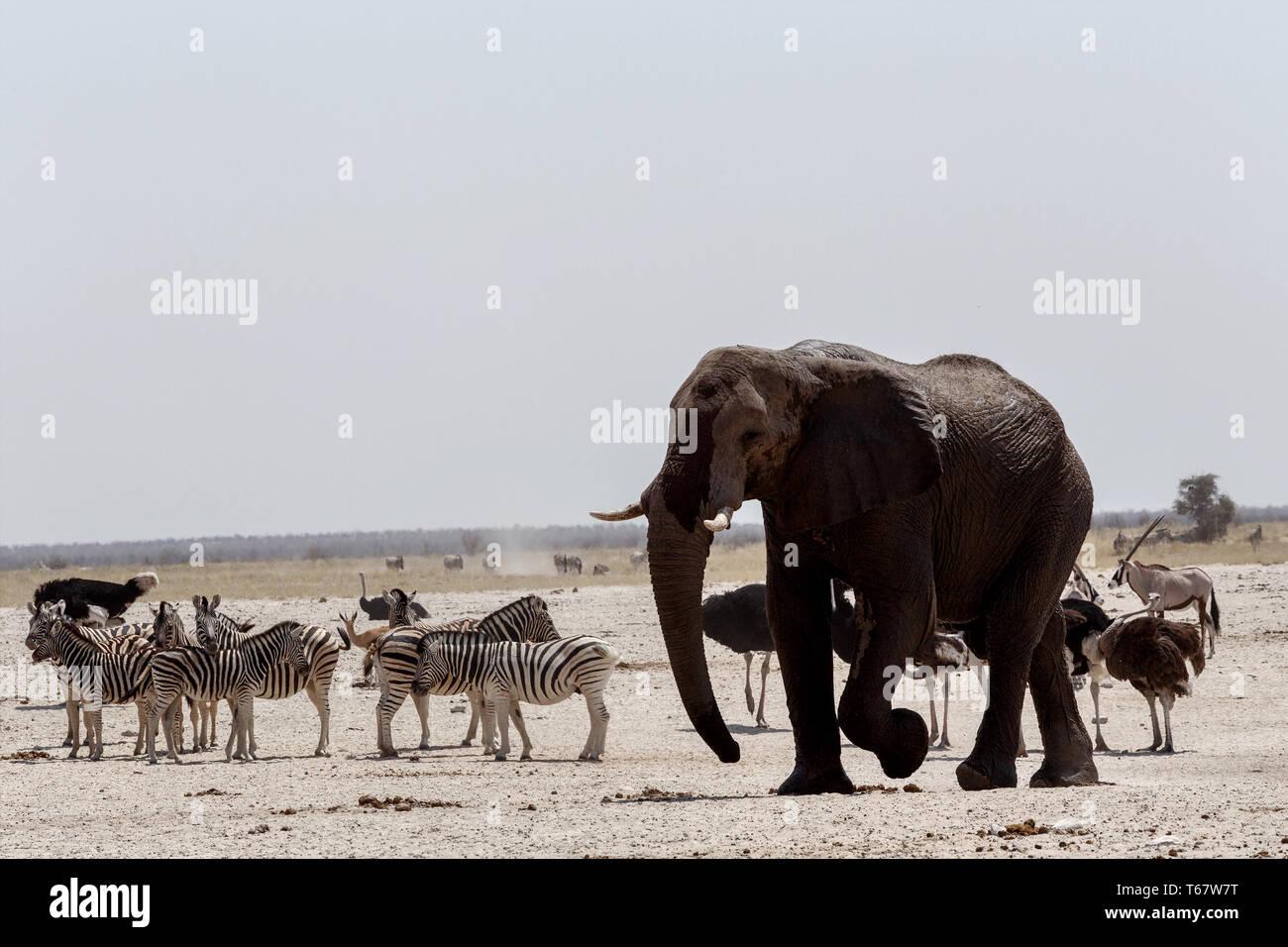 Trafic d'animaux sur l'eau boueuse dans le parc d'Etosha Photo Stock