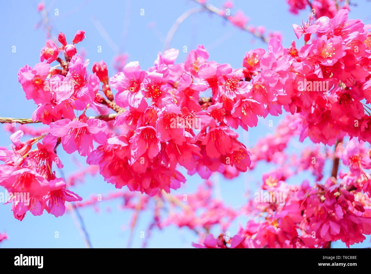 Temps de printemps avec de belles fleurs de cerisier, sakura rose des fleurs. Banque D'Images