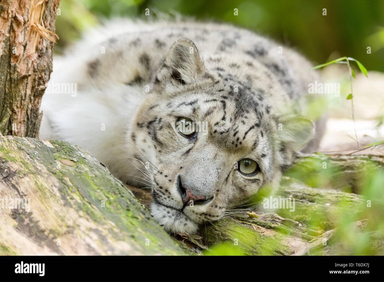 Cat snow leopard - Irbis, Uncia uncia Banque D'Images