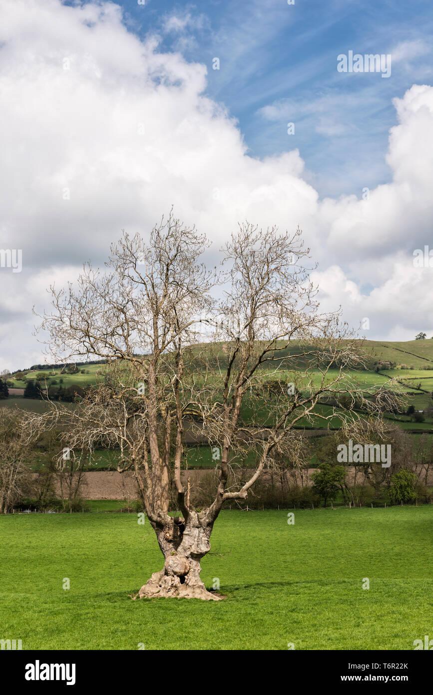 Un vieux frêne commun (Fraxinus excelsior) sur les frontières du pays de Galles, Royaume-Uni. Les frênes sont actuellement à risque d'extinction de la maladie chalarose du frêne Photo Stock