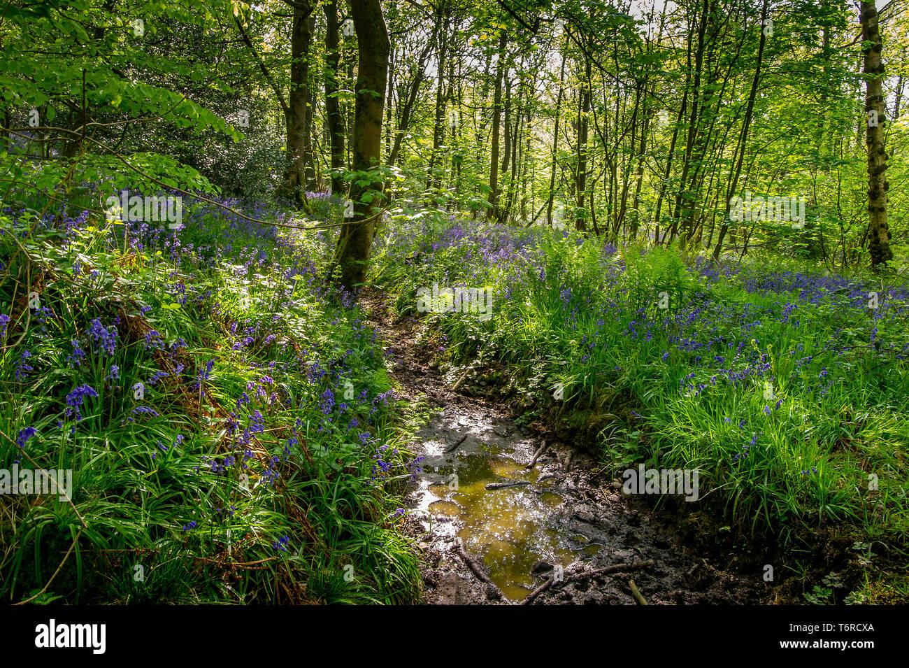 Un affichage glorieux de jacinthes et ail sauvage pour les randonneurs et les photographes comme dans le bois de printemps, près de Whalley, Lancashire. Le beau temps est défini Photo Stock