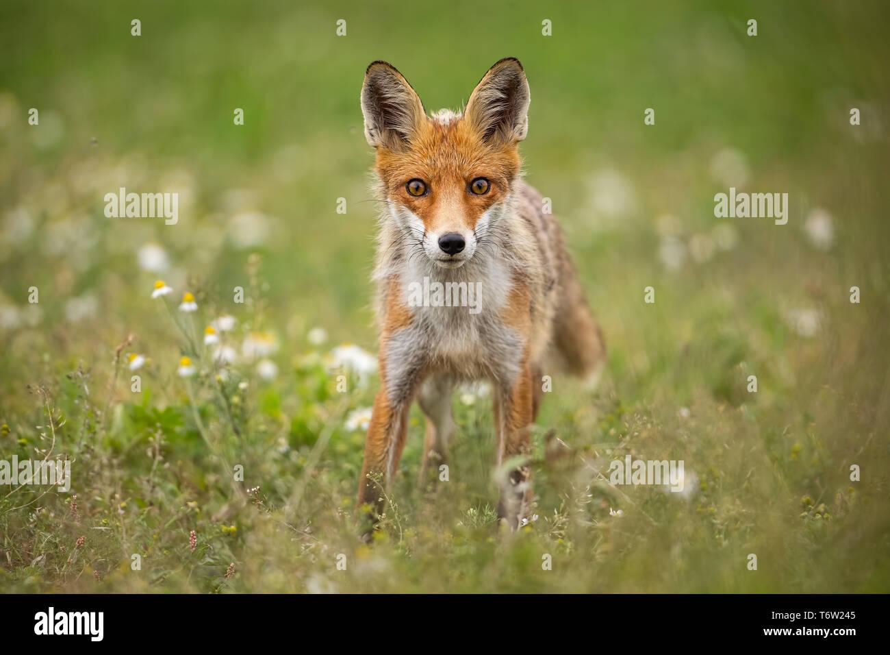 Les jeunes curieux red fox sur une prairie avec des fleurs d'été Photo Stock