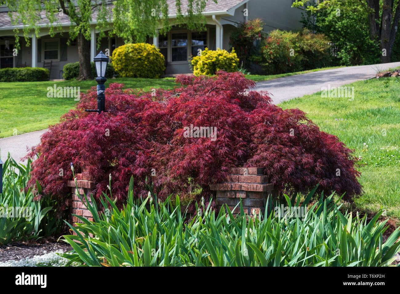 Japanese maple, Acer, un pamatum pleureur à feuilles caduques arbuste utilisé dans une banlieue un paramètre et paysage. Knoxville, Tennessee, USA. Photo Stock