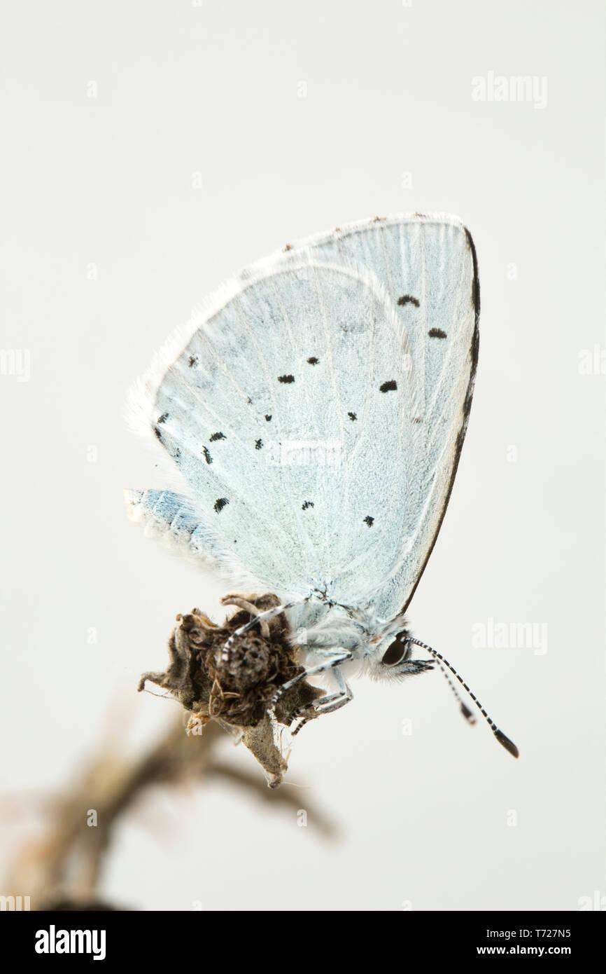 good texture new styles innovative design Holly un papillon bleu, Celastrina argiolus, halte sur ...