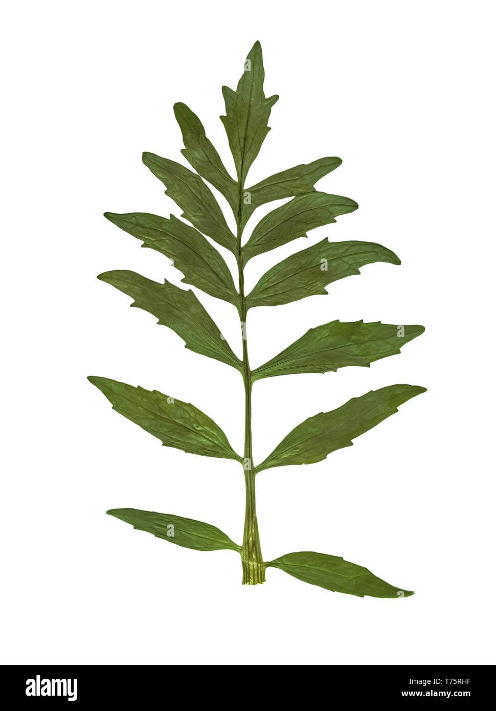 Herbier. Enfoncée et feuilles séchées sur un fond blanc. Photo Stock