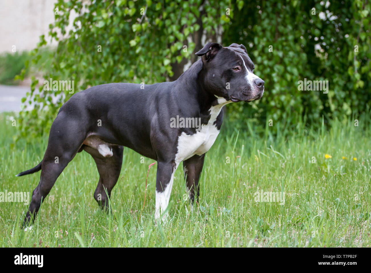 Black & White American Staffordshire Terrier standing Banque D'Images