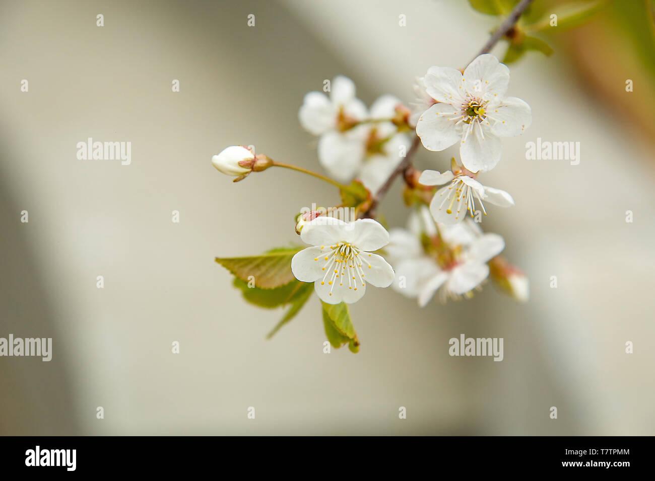Au début du mois de mai dans le jardin de fleurs blanches fleurs de ...