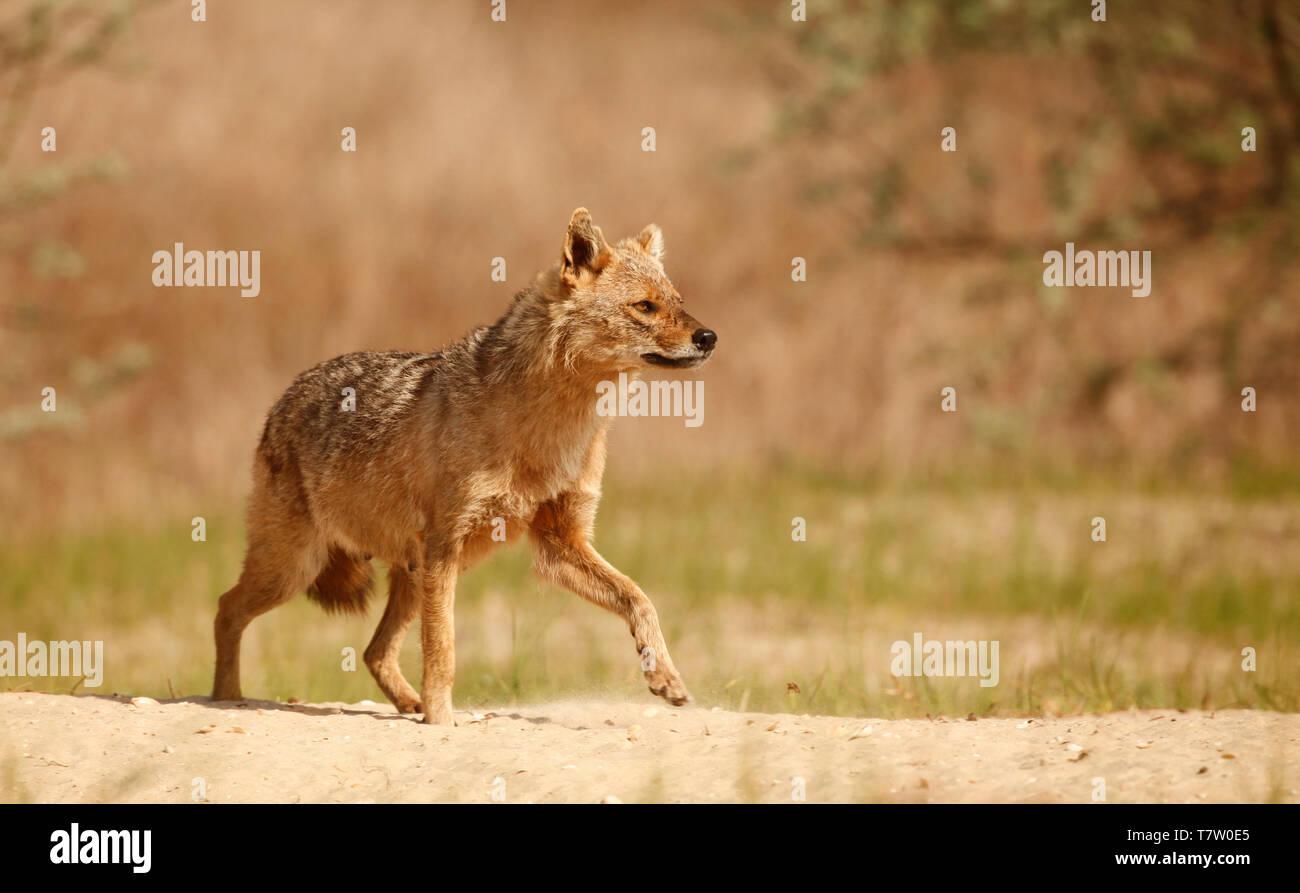 Une alerte femme Golden Jackal, Canis aureus, marcher sur le sable dans le Delta du Danube, région de l'est Roumanie Banque D'Images