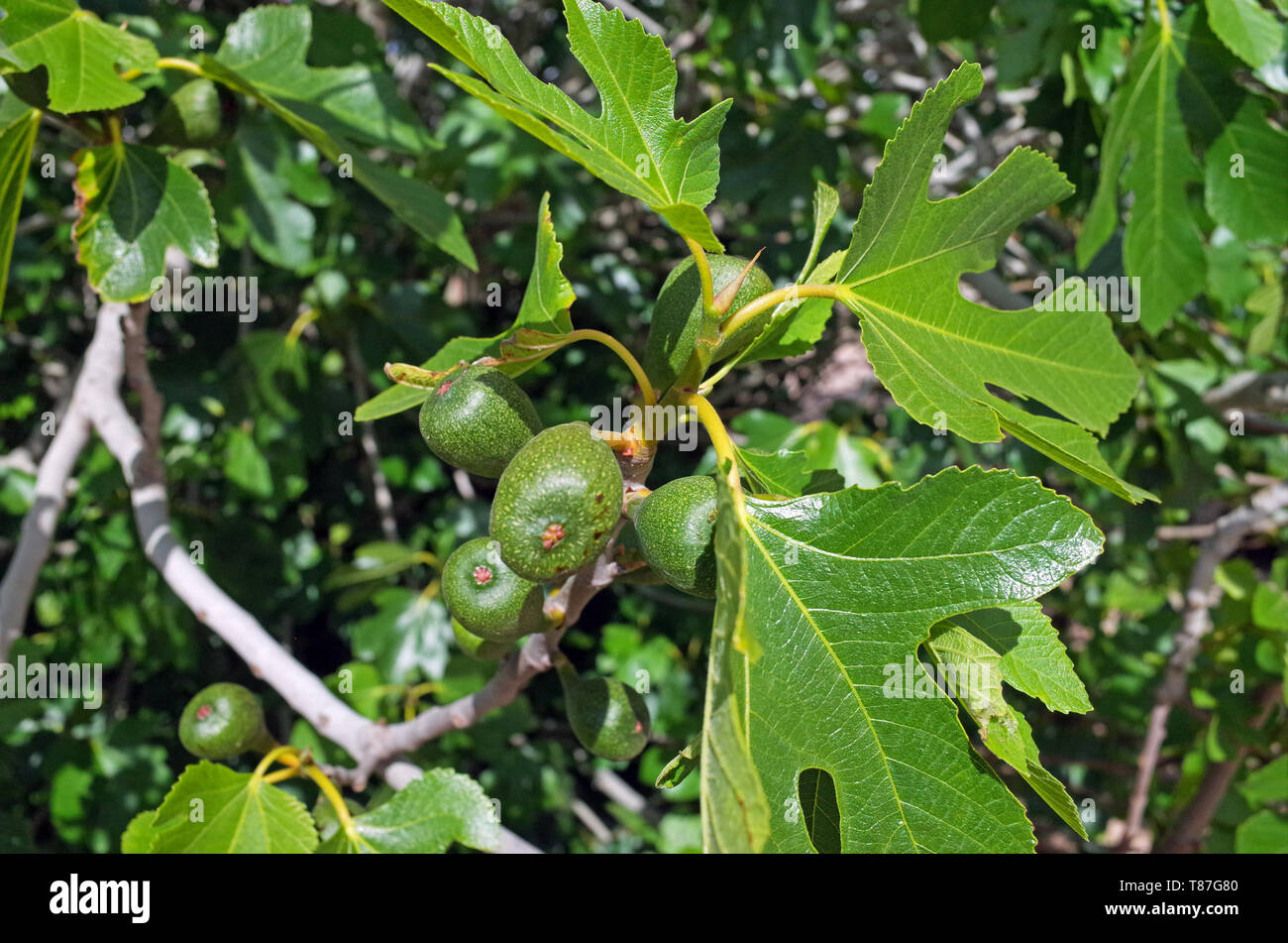 Ficus carica fruit close-up Photo Stock