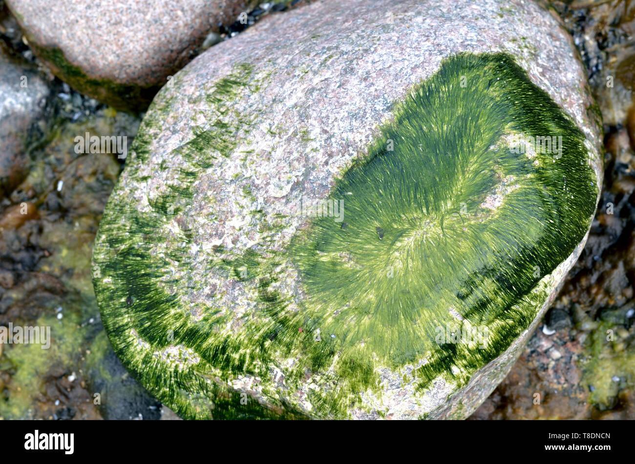 Pierre dans l'eau recouverte d'algues vertes Banque D'Images