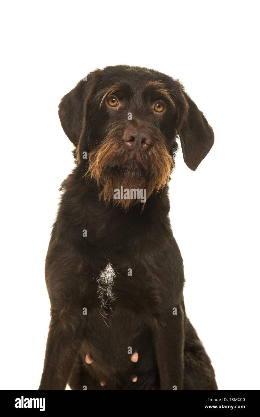 Portrait d'un Cesky Fousek chien regardant la caméra isolé sur fond blanc Photo Stock