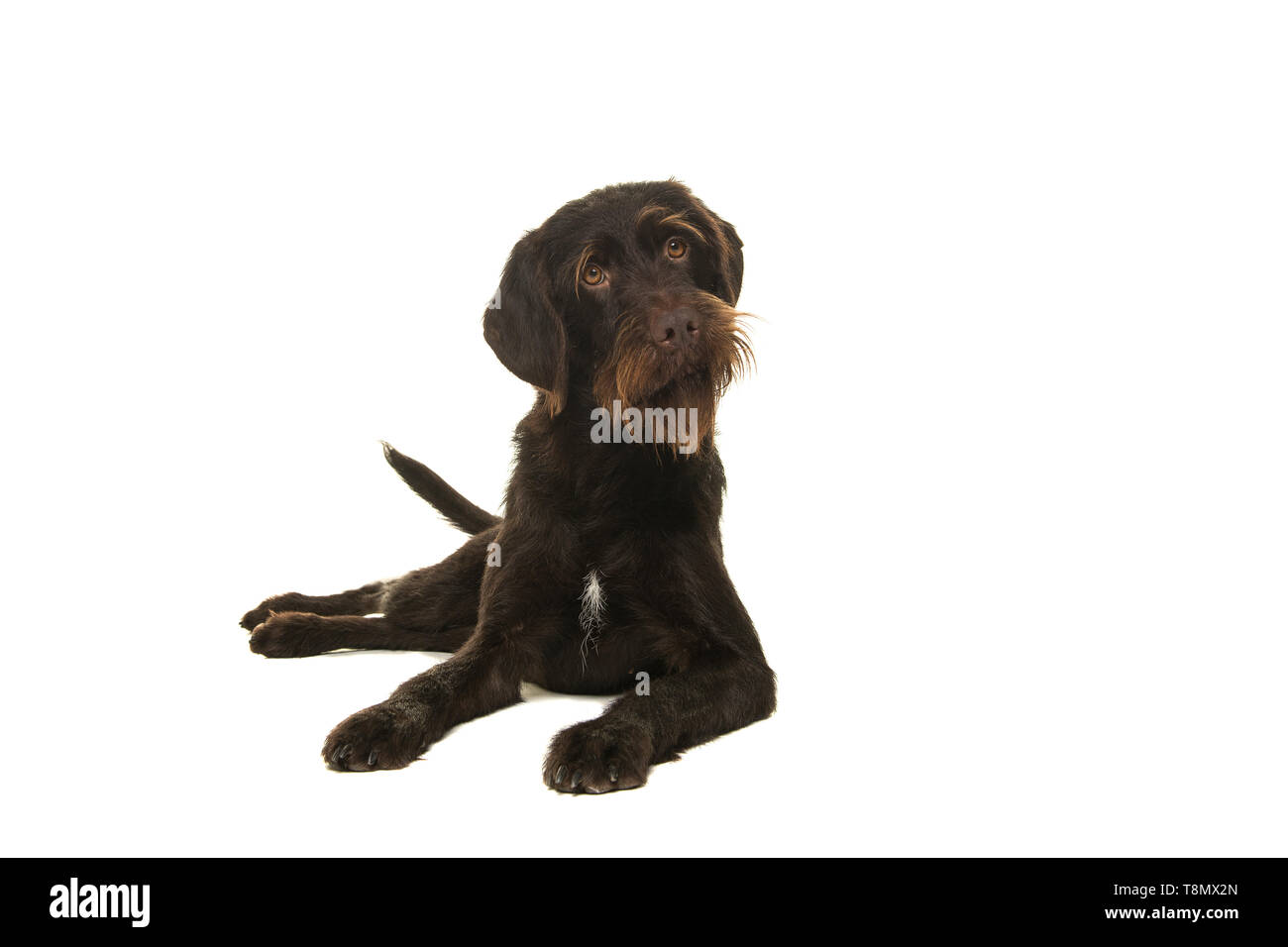 Cesky Fousek chien couché et regardant la caméra Vue de face isolé sur fond blanc Photo Stock