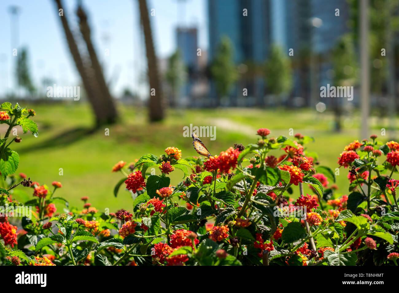 Un monarque africain Lantana sur fleurs dans la saison du printemps à Sidi Mhamed park (à côté du port d'Oran), Oran, Algérie Photo Stock