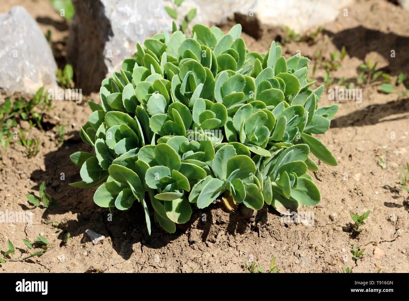 Plante Couvre Sol Soleil sedum ou orpin hardy succulentes vivaces couvre-sol plante