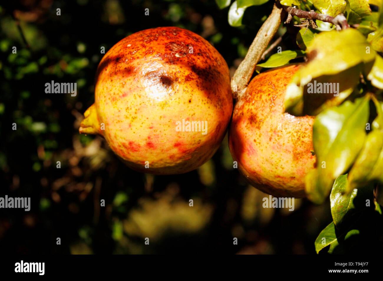 Deux fruits de la Grenade, toujours sur le pied. En plus d'être beaux, ces fruits ont des caractéristiques très sain. Photo Stock